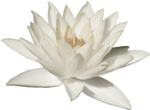 white-lotus-500px