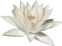 white-lotus-200px